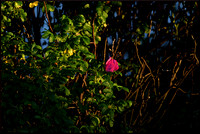 Last Rays on the Rose w sig DSC_0515