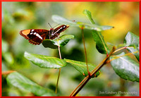Butterfly on Poison Oak w border DSC_0112