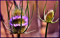 Flowering Thistle Head w border DSC_0430