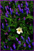 Wild White Rose and Flowering Vetch w sig for web DSC_7357