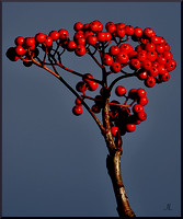 Winterberry Holly 4 w sig DSC_3662